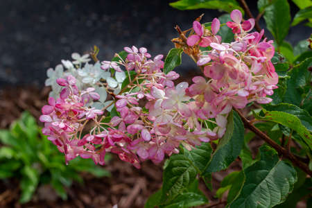 Close up view of a bright white and pink hydrangea flowers (hydrangea macrophylla) growing in a sunny ornamental garden