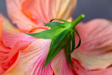 Bright colorful macro abstract of the beautiful ruffled underside of a double hibiscus flower, with petals in varying shades of pink