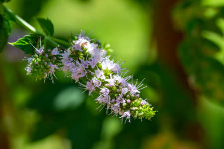 Macro view of delicate tiny pink and white flower blossoms on a sprig of a fresh peppermint plant (mentha piperita) growing in a sunny herb garden