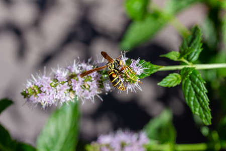Macro view of a paper wasp landing on delicate tiny pink and white flower blossoms on a sprig of a fresh peppermint plant (mentha piperita) growing in a sunny herb garden