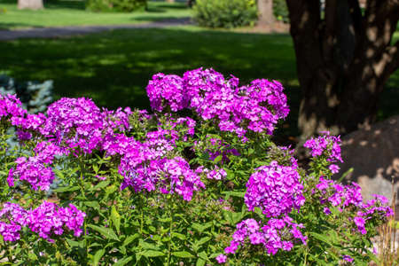 Close up abstract texture view of bright purple garden phlox flowers blooming in a sunny landscaped ornamental garden