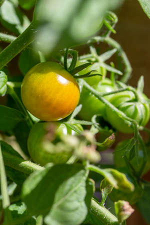 Macro texture view of green cherry tomatoes maturing on a tomato vine in a sunny vegetable garden Reklamní fotografie