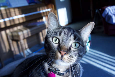 Close up view of a gray stripe tabby cat mugging the camera in an indoor room with curtain filtered sunlight Reklamní fotografie
