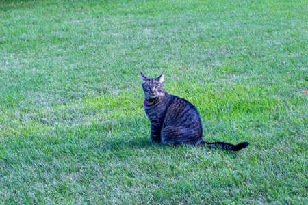 View of a gray stripe tabby cat sitting in a large grassy lawn, looking at camera
