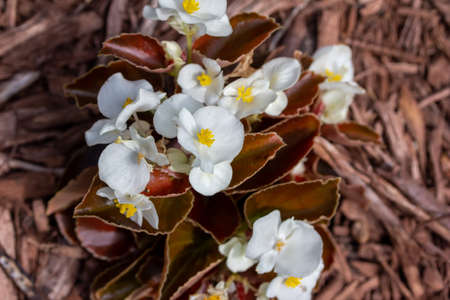 Close up view of bright white wax begonia flowers growing in a sunny botanical garden with wood mulch background and copy space