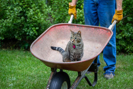 Close up view of a gray stripe tabby cat riding in an old red garden wheelbarrow in a sunny back yard Reklamní fotografie