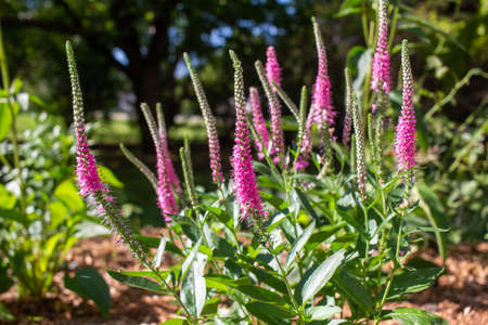 Close up view of beautiful veronica flowers (spike speedwells) growing in a sunny botanical garden with defocused background and copy space