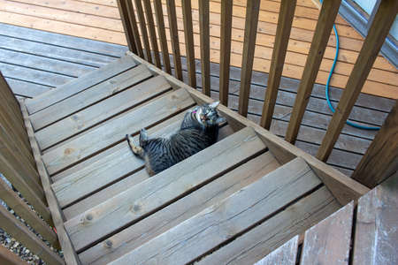 Top view of a gray stripe tabby cat relaxing on the stairs of an outdoor wooden deck Reklamní fotografie