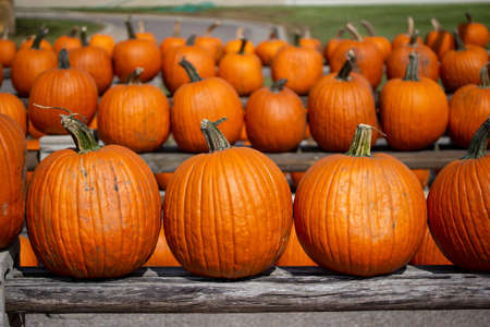 Rustic outdoor display view of freshly harvested large orange Jack O' Lantern size pumpkins with a neutral sunny background