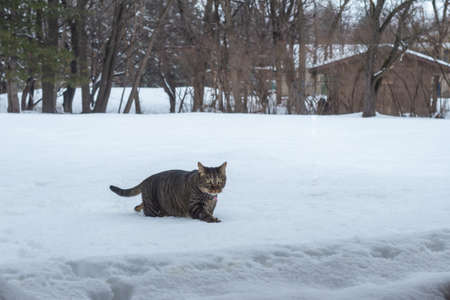 Close up landscape view of a brown and gray striped tabby cat exploring new deep snow in a back yard, following a winter blizzard
