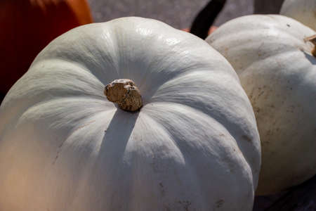 Full frame close up view of large ripe white Jack O' Lantern size pumpkins with defocused outdoor background and copy space