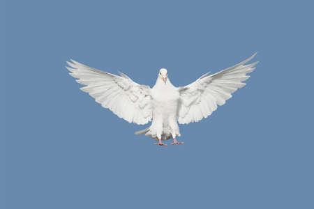 paloma blanca: Paloma Foto de archivo