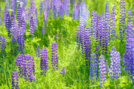 reloj de sol: Lupinus, lupin, lupine field with pink purple and blue flowers
