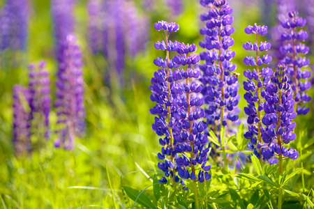 Lupinus, lupin, lupine field with pink purple and blue flowers