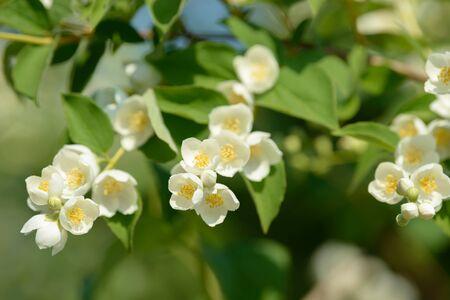 Close up of white jasmine flowers in a garden. Flowering jasmine bush in sunny summer day. Nature background.