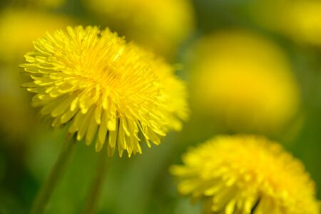 Yellow dandelion flowers (Taraxacum officinale). Dandelions field background on spring sunny day. Blooming dandelion. Medicinal wild herb. 版權商用圖片