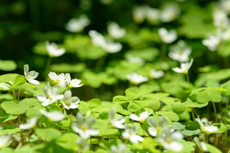 Oxalis articulata or acetosella. Medicinal wild blossoming wood sorrel herb. Grass with white, pink or yellow flowers growing in the forest or glade. Healthy plant used as food and drink ingredient. Stock Photo