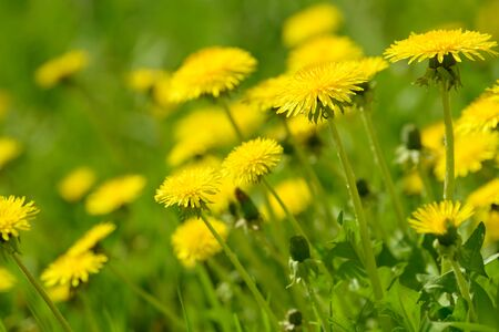 Yellow dandelion flowers (Taraxacum officinale). Dandelions field background on spring sunny day. Blooming dandelion. Medicinal wild herb. Medicine drug natural ingredient.