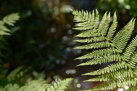 Fern leaf growing in nature. Leaves and stem of fern foliage in the forest. Medicinal wild perennial plant. Stock Photo