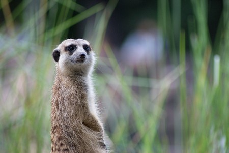 the sentry: Centinela Meerkat