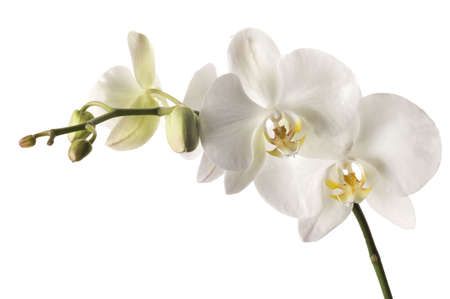 dendrobium: White dendrobium orchid isolated on white background.