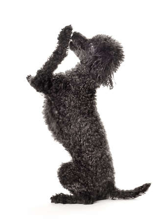 Shhhhhh...   I have a secret!.  Black toy poodle isolated on a white background.   Stock Photo