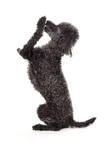 Shhhhhh...   I have a secret!.  Black toy poodle isolated on a white background.   Reklamní fotografie