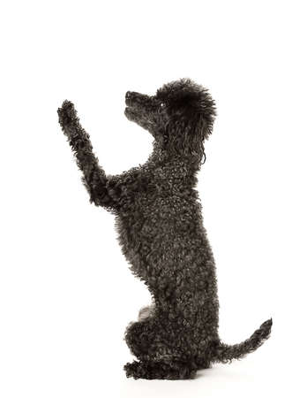 lecturing: Now You Listen to Me!  Black toy poodle in a pose of lecturing or communicating.
