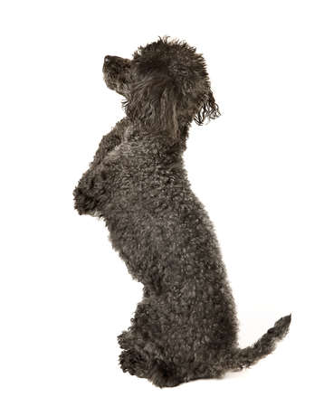 allegiance: I Pledge Allegiance, To the Flag...  Black toy poodle in a pose of saying the Pledge of Allegiance.  Stock Photo