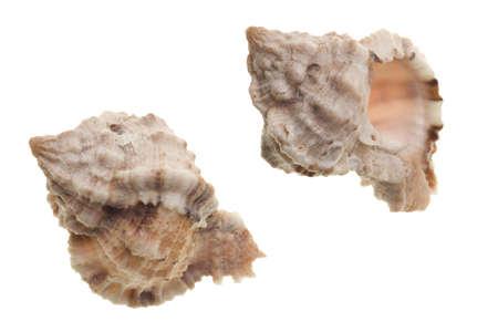 murex shell: Seashells isolated on white background Stock Photo