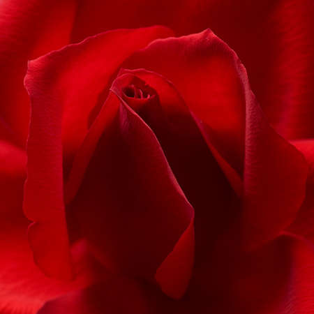 red rose closeup background with twirling petals Imagens