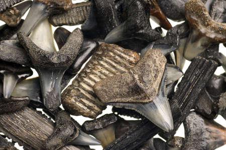 shark teeth: dientes fosilizados de tibur�n en un aislado fondo blanco puro