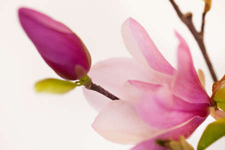 magnolia flower: Magnolia Jane Blossoms in pink and white Stock Photo