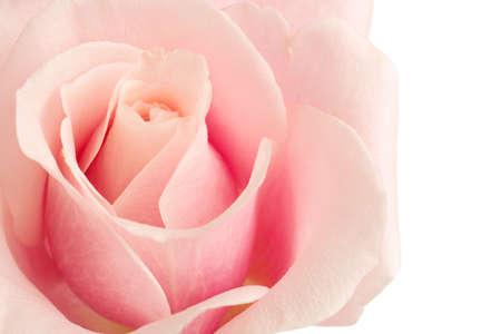Pink Rose Gro�ansicht isoliert auf wei�em Hintergrund Lizenzfreie Bilder