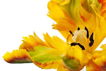 gele tulp geïsoleerd op witte achtergrond