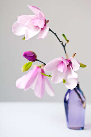 vase: Magnolia Jane Blossoms in pink and white Stock Photo