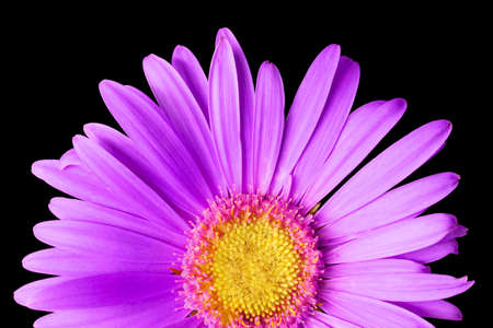 pink daisy isolated on a pure black background photo