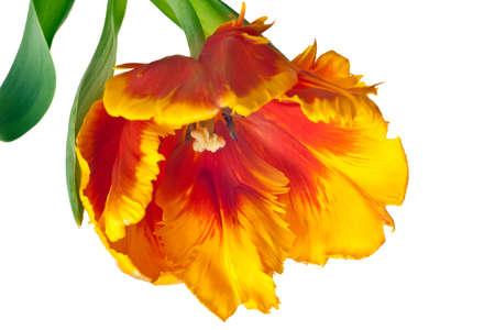 lente tulips bloem geïsoleerd op witte achtergrond