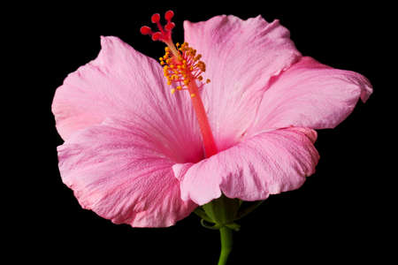 Pink hibiscus isolated on black background.  Clean pure black background- no grey! photo