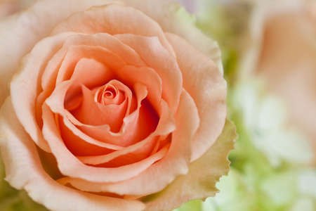 peach rose with side lighting background photo