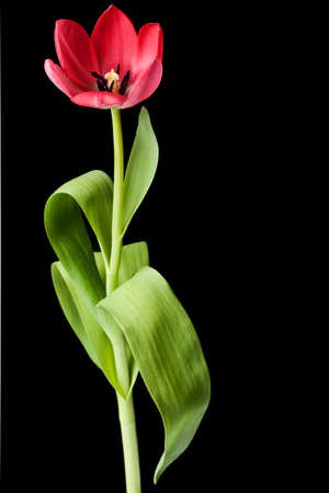 pink tulip isolated on a black background photo