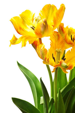 yellow tulip isolated on white background Stock Photo