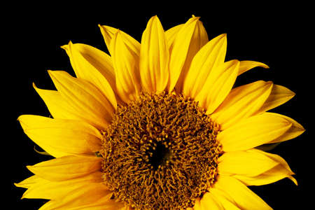 sunflower isolated on a pure black background photo