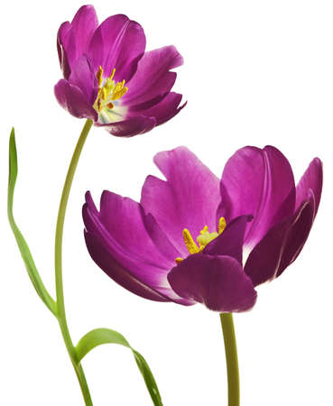 spring tulips flower isolated on white background Stock Photo