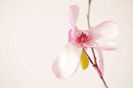 Magnolia Jane Blossom in pink and white hues Stock Photo