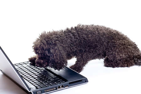 black toy poodle isolated on white background Stock Photo