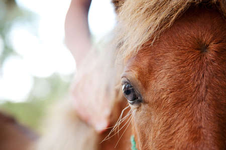 filly: miniature horse filly with eye in selective focus