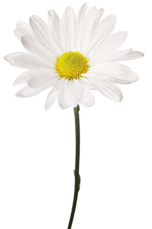 yellow daisy: daisy isolated on a pure white background