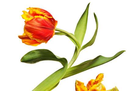 spring tulips flower isolated on white background Stockfoto