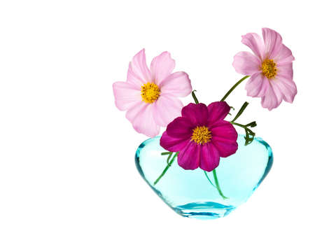 pink daisy isolated on a pure white background photo